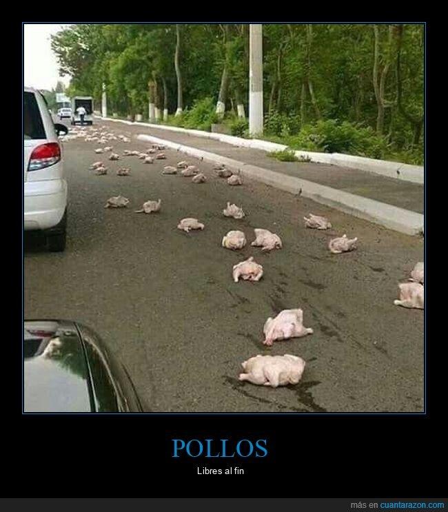 carretera,fails,pollos
