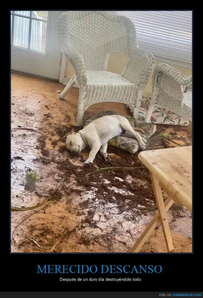 desastre,durmiendo,perro