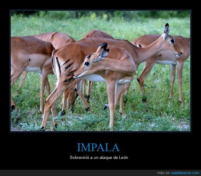 ataque,cicatriz,impala,león