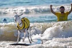 Enlace a Hasta una cabra puede mantenerse en pie encimad e una tabla, y tú...