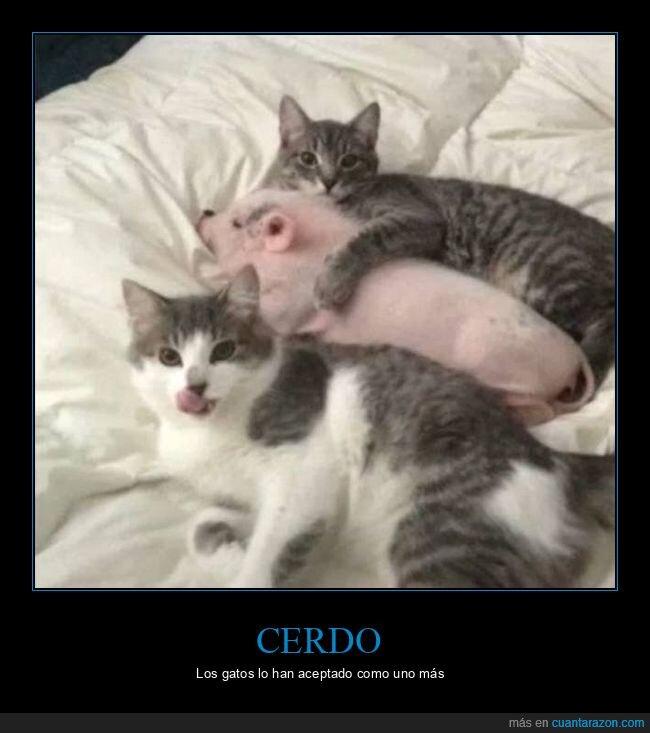 cerdo,gatos
