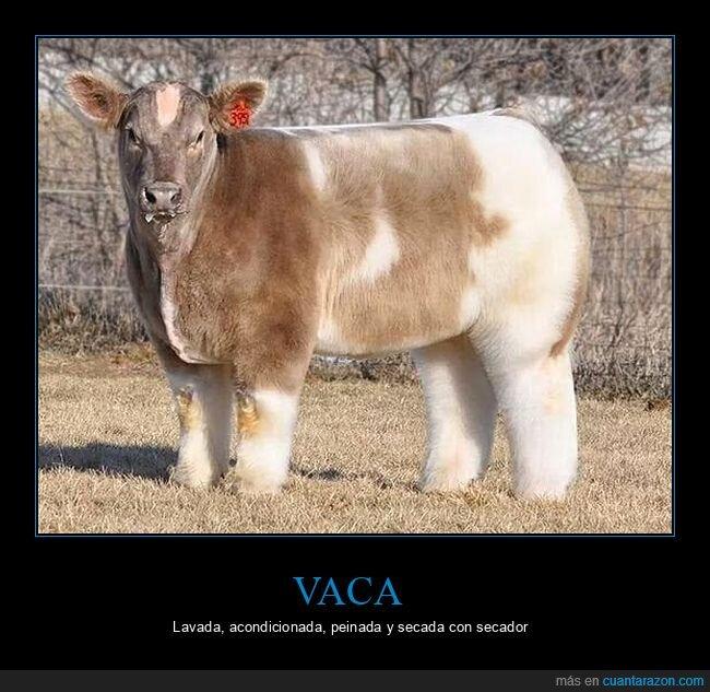 lavada,peinada,pelo,vaca