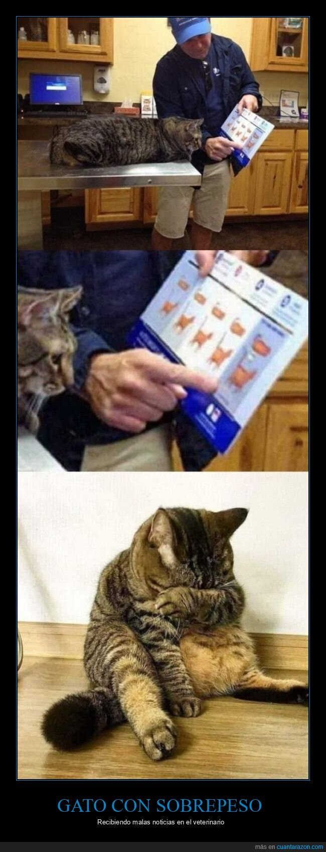 gatos,gordo,veterinario