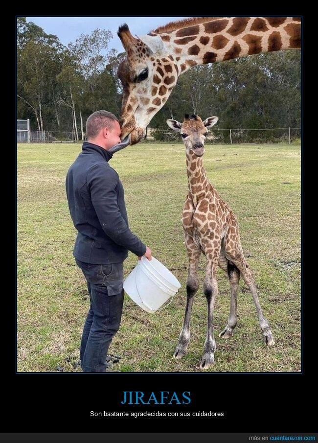beso,jirafa,lengua