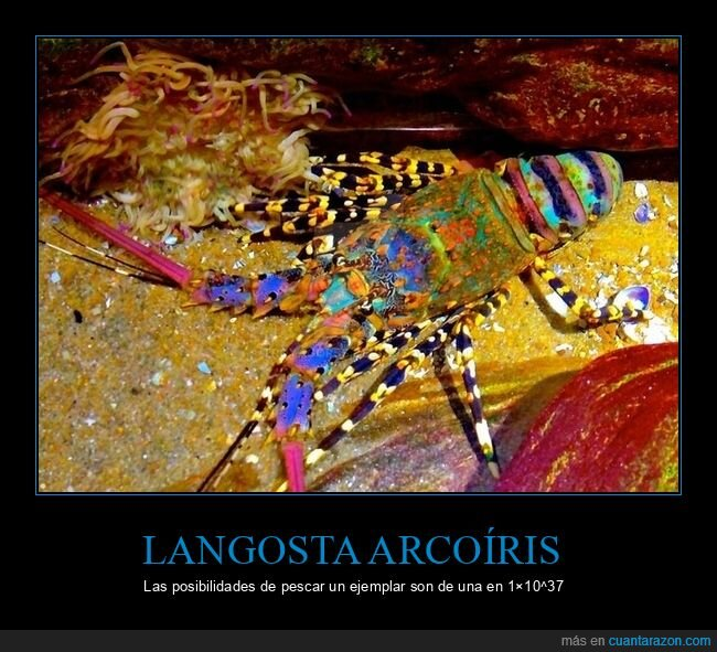 curiosidades,langosta arcoíris