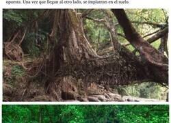 Enlace a Los vertiginosos puentes vivientes hechos con árboles por tribus indias