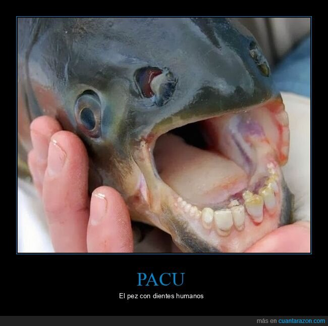 dientes,pacu,pez