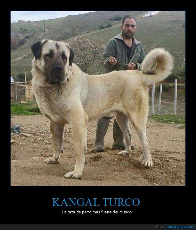 fuerte,kangal turco,perros