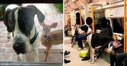 Enlace a Perros de la raza Gran Danés que no son conscientes de su tamaño
