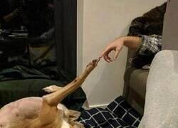 Enlace a Perro renacentista