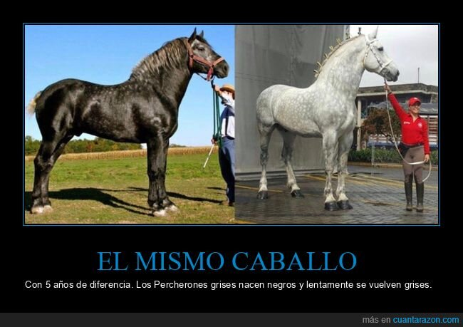 ahora,antes,caballo,color,percherón