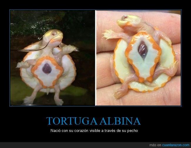 albina,corazón,tortuga