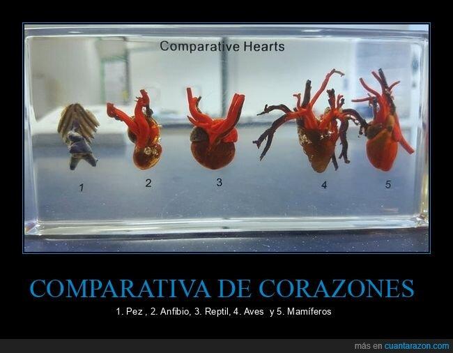 comparativa,corazones,especies