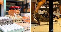 Enlace a Fotos de gatos en tiendas actuando como si fueran los dueños