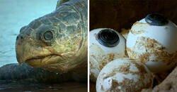 Enlace a Este robot tortuga que grabó a 20000 tortugas desovando en Costa Rica