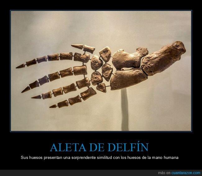 aleta,delfín,huesos,mano,parecidos