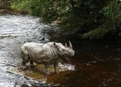 Enlace a Rinoceronte misterioso