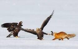 Enlace a Águilas VS Zorro