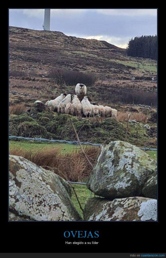 líder,ovejas,wtf