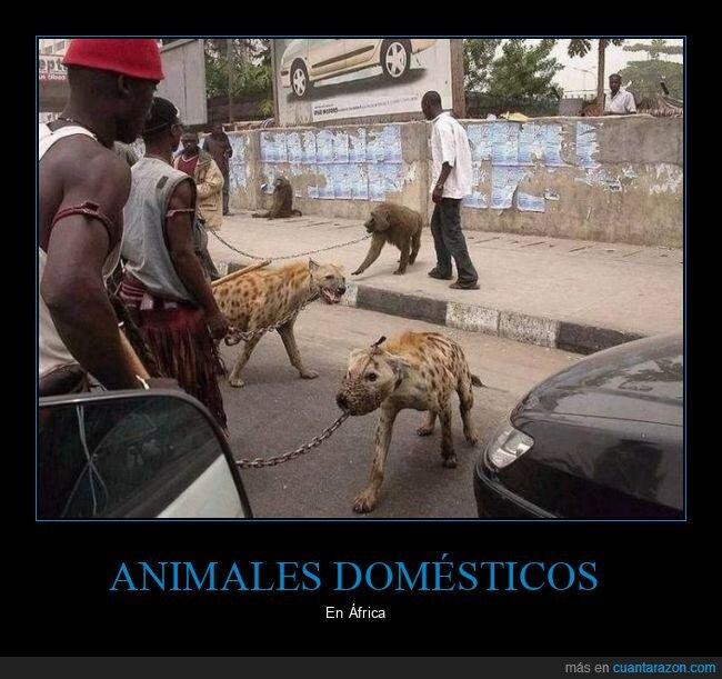 áfrica,hienas,mascotas,wtf