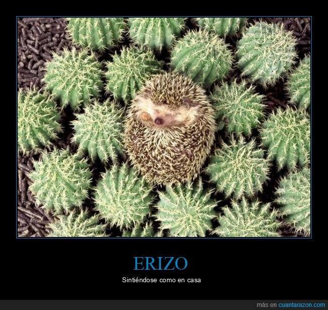 cactus,erizo