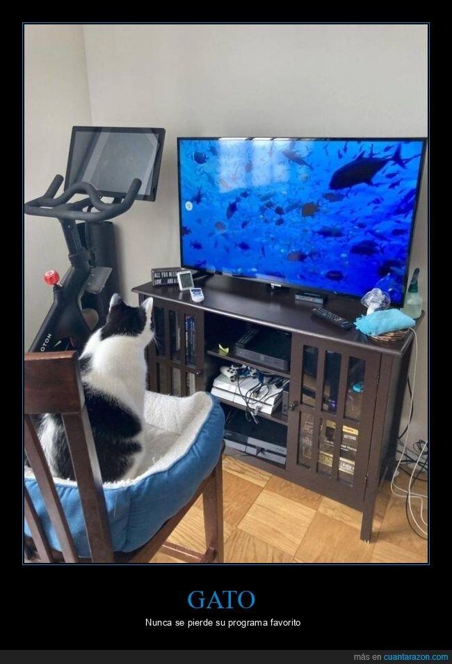 gato,peces,televisión