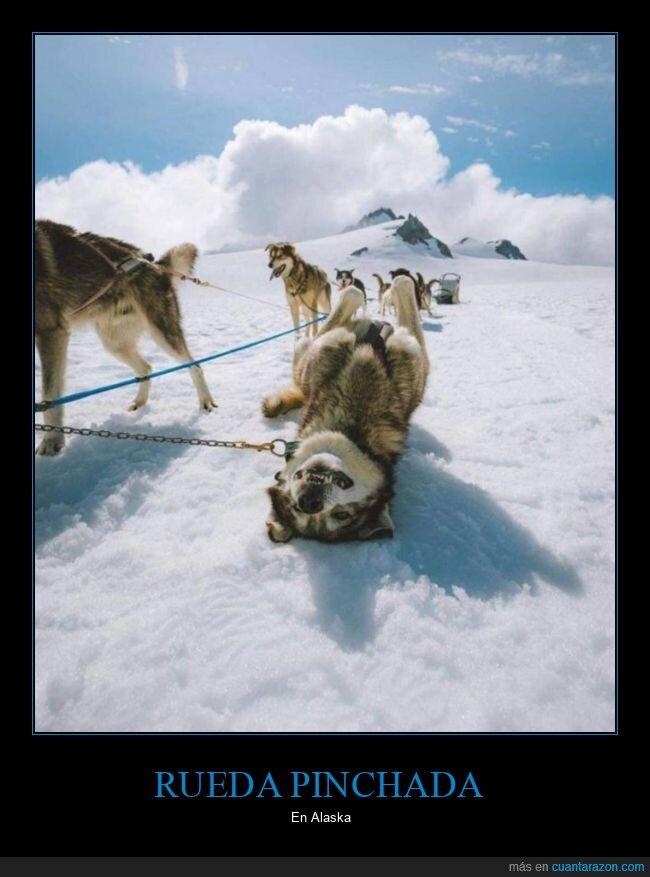 alaska,perro,trineo