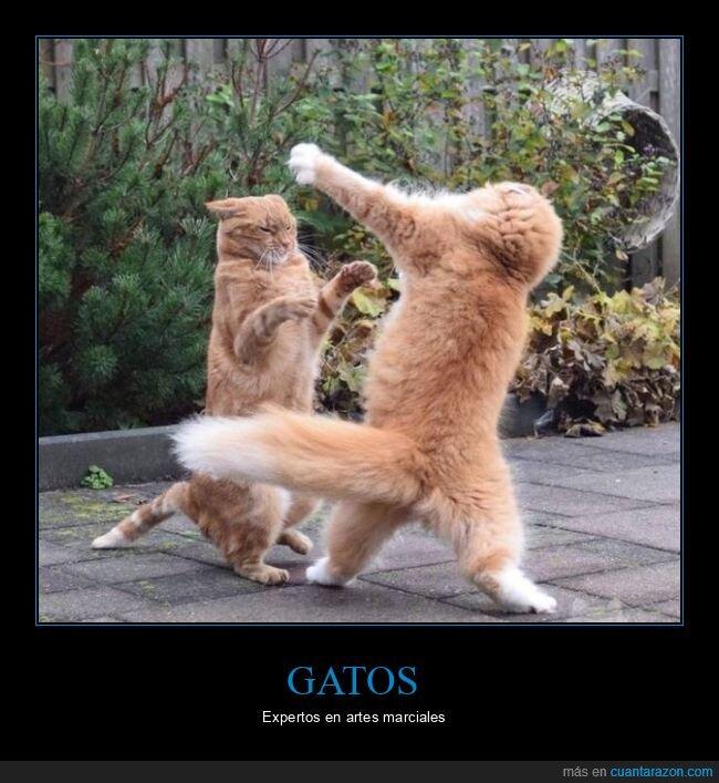 gatos,pelea,wtf