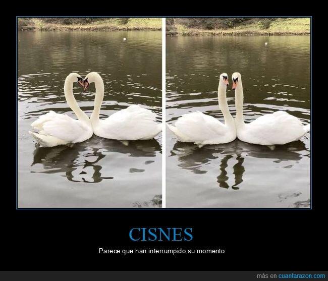 cisnes,interrumpir