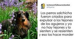 Enlace a Tuits de dueños de perros salchicha contando cómo es tener mascotas con tanta personalidad