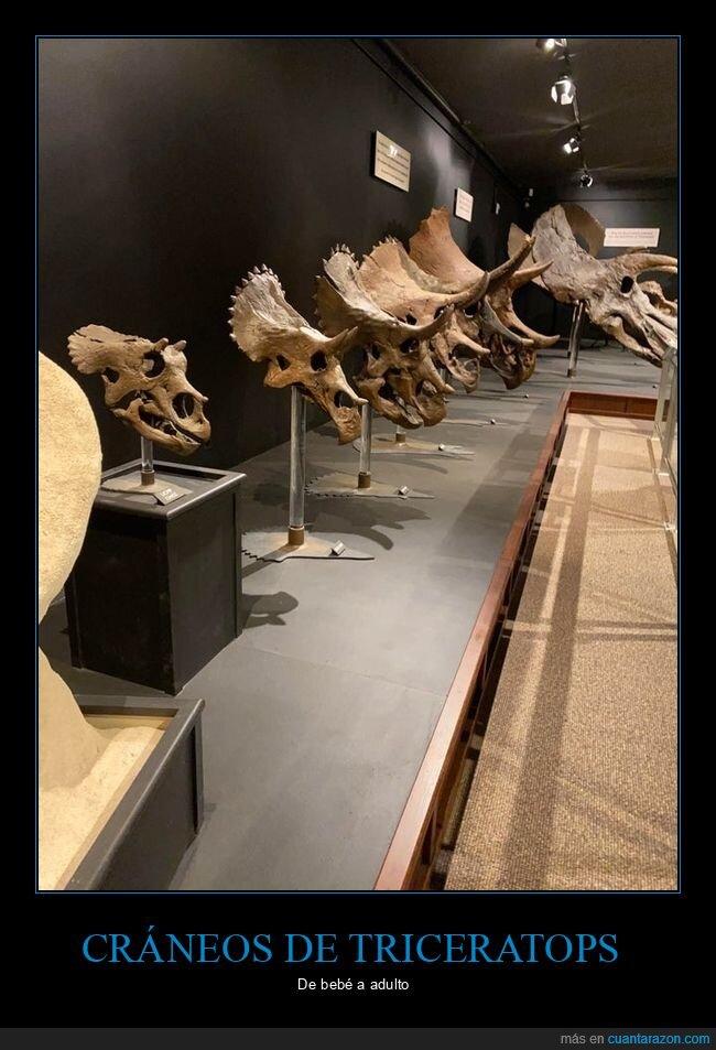 cráneos,edades,triceratops