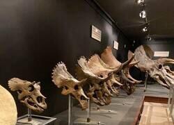 Enlace a Triceratops de todas las edades