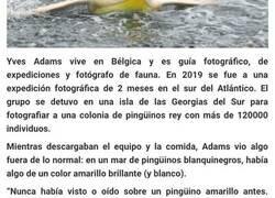 """Enlace a Este fotógrafo de fauna retrató a un pingüino amarillo, algo """"nunca visto"""", ya que solo se da 1 caso entre cada 146000"""