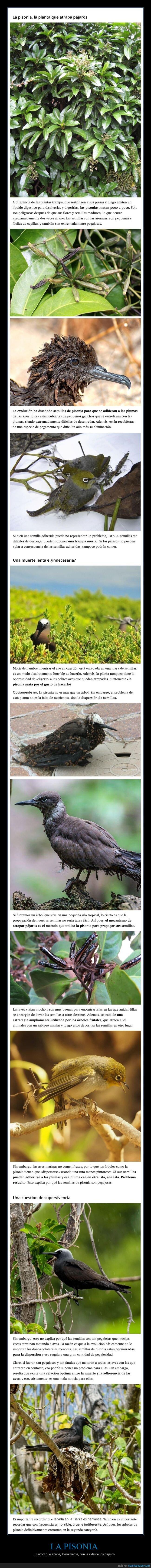 árbol,pájaros,pisonia