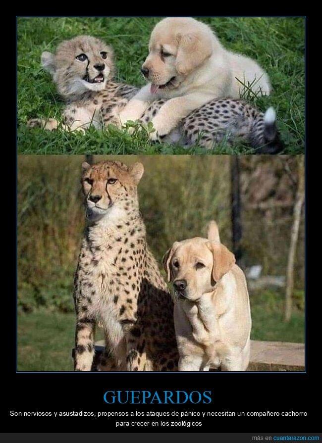 compañeros,guepardos,perros,zoo