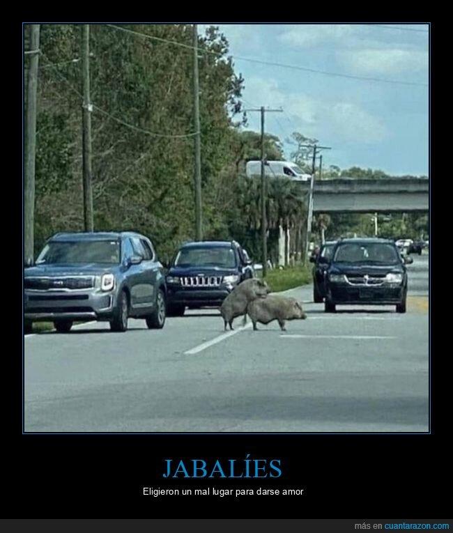 carretera,jabalíes,wtf