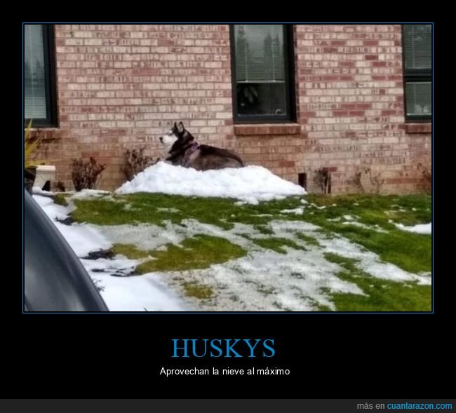 husky,nieve,perro