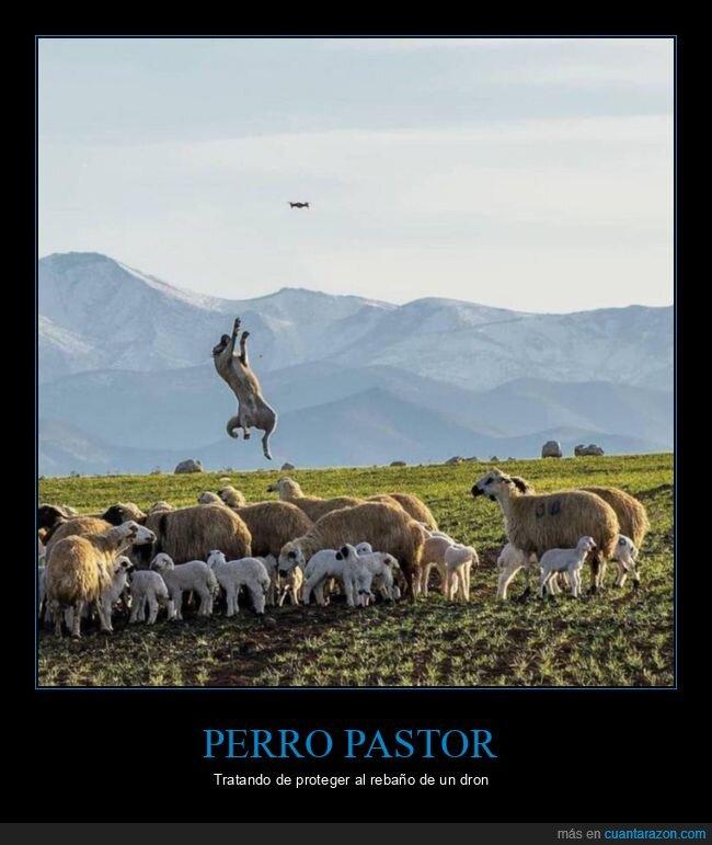 dron,pastor,perro,rebaño