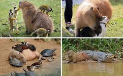 Enlace a Todos aman a las capibaras