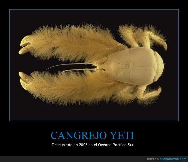 cangrejo yeti,curiosidades