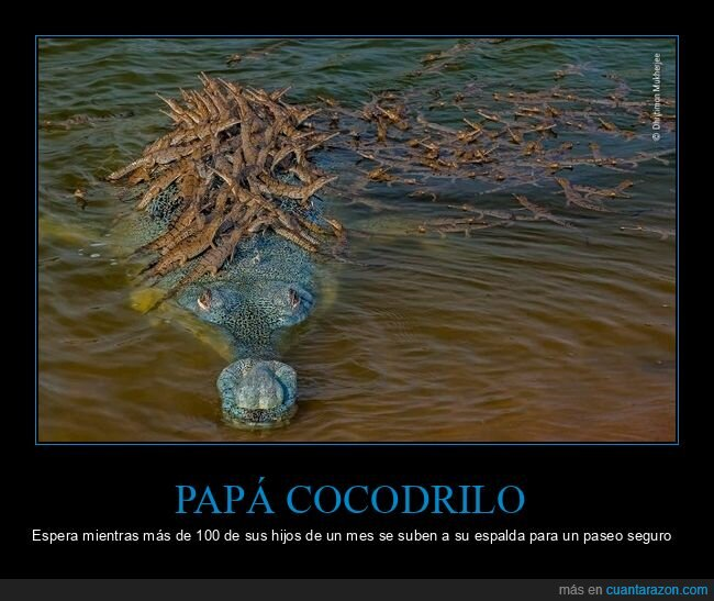 cocodrilo,hijos,padre