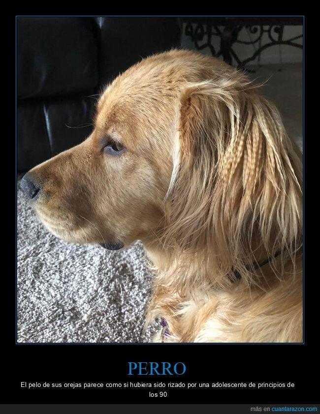 orejas,pelo,perro,rizado