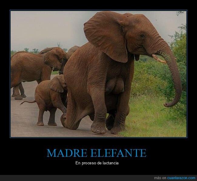 elefante,lactancia,madre