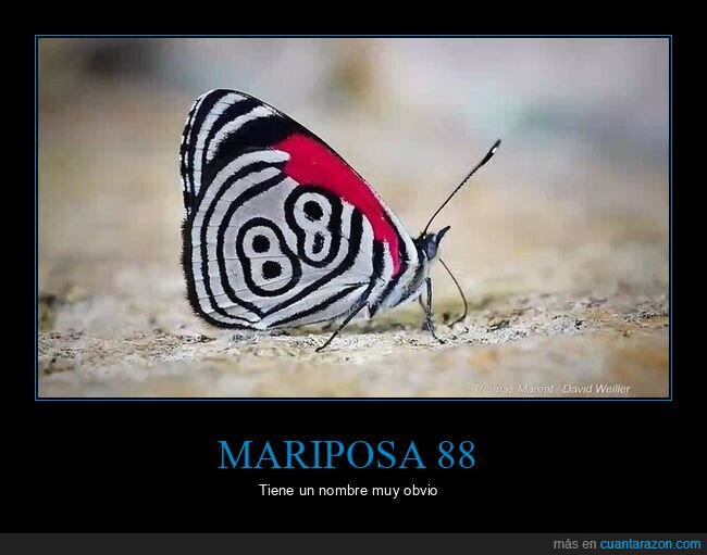 88,mariposa