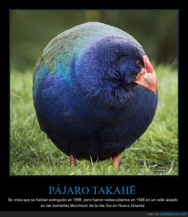 curiosidades,extinto,nueva zelanda,pájaro takahē,redescubierto