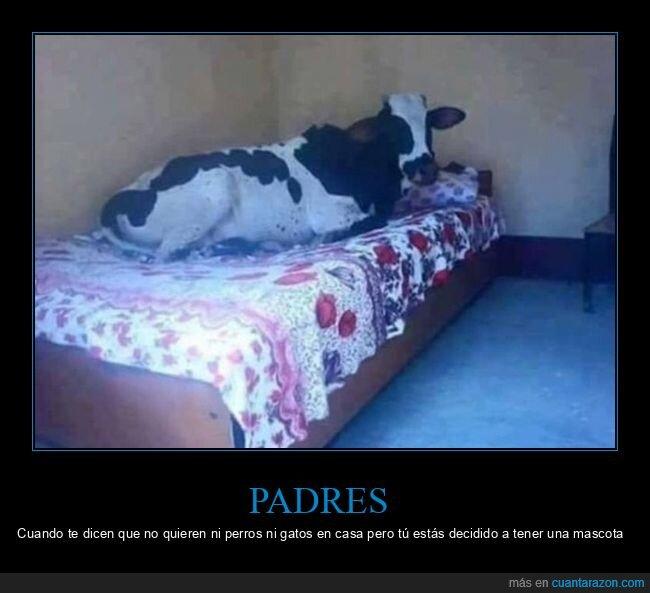 cama,vaca