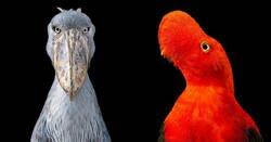 Enlace a Retratos de pájaros extraños y en peligro de extinción que probablemente no hayas visto nunca