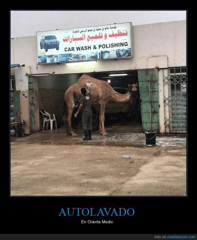 autolavado,camello,dromedario,wtf