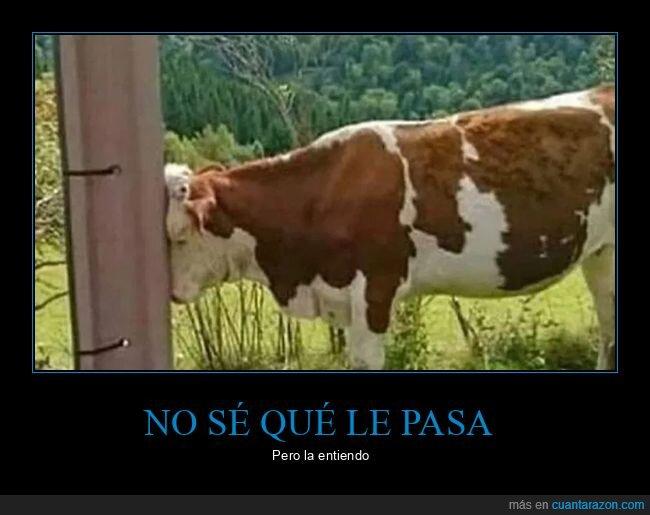 entender,vaca