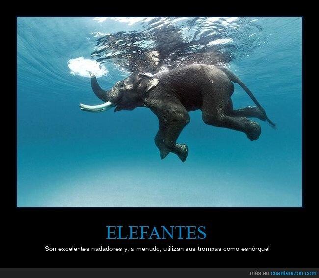 elefante,esnórquel,nadando,trompa